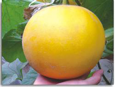 沙白甜瓜——富硒水果